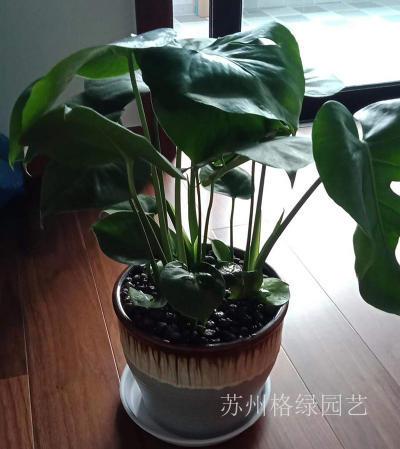 龟背竹一能释放氧气的植物
