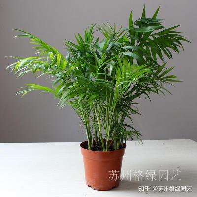 袖珍椰子 高效空气净化器