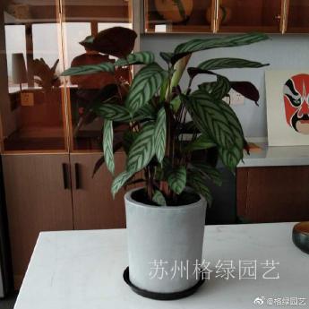 网红植物之飞羽竹芋