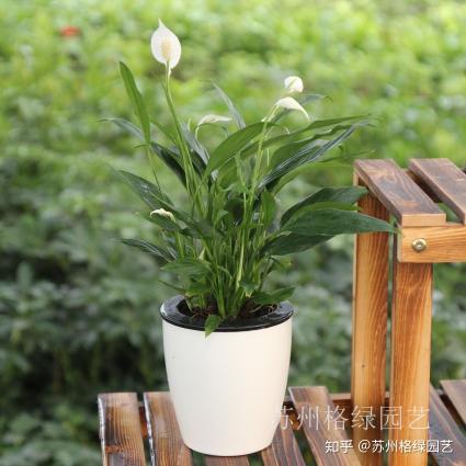 室内绿化植物一帆风顺