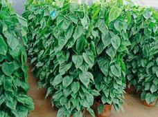 苏州绿植盆栽租赁