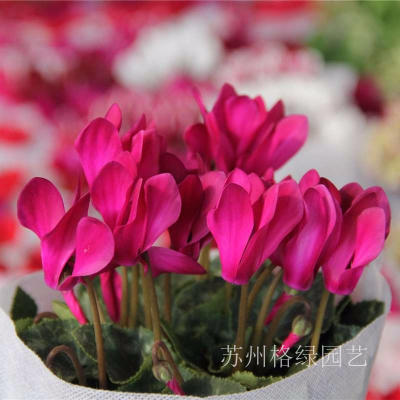 冬季花卉仙客來
