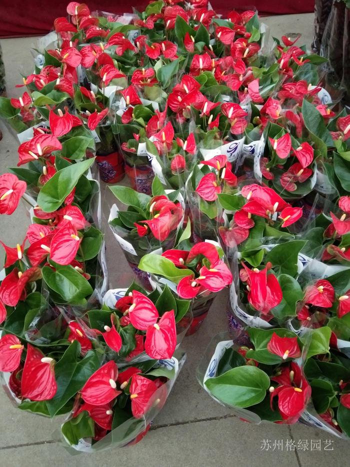新鮮紅掌四季開花
