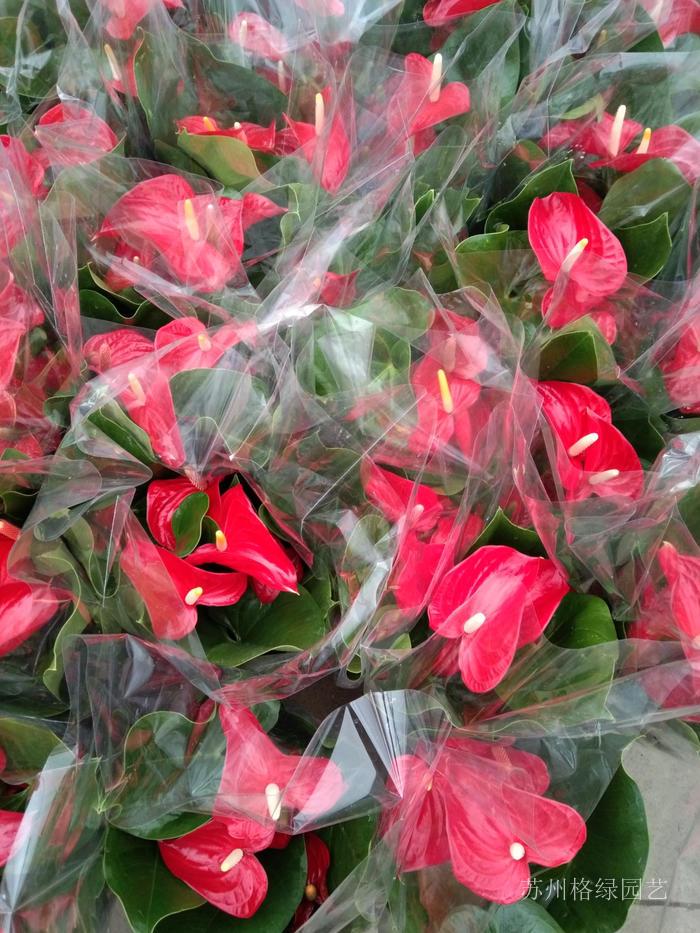 紅掌鮮花的盆花四季開花家里植物