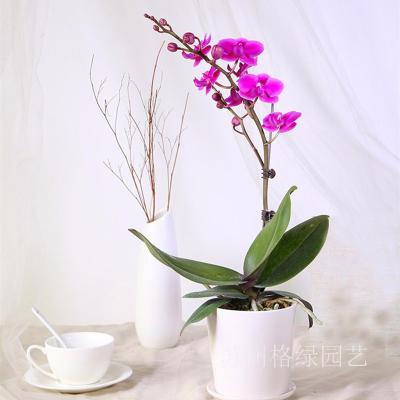 蝴蝶兰盆栽带花时尚新宠物