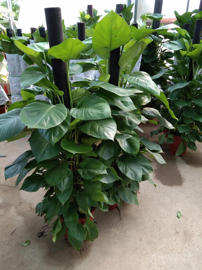 大叶绿萝家里植物