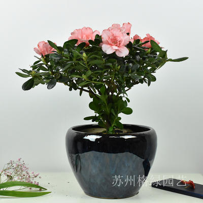 杜鹃花盆栽观花植物