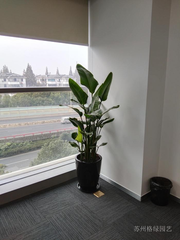 天堂鸟盆栽大型绿植