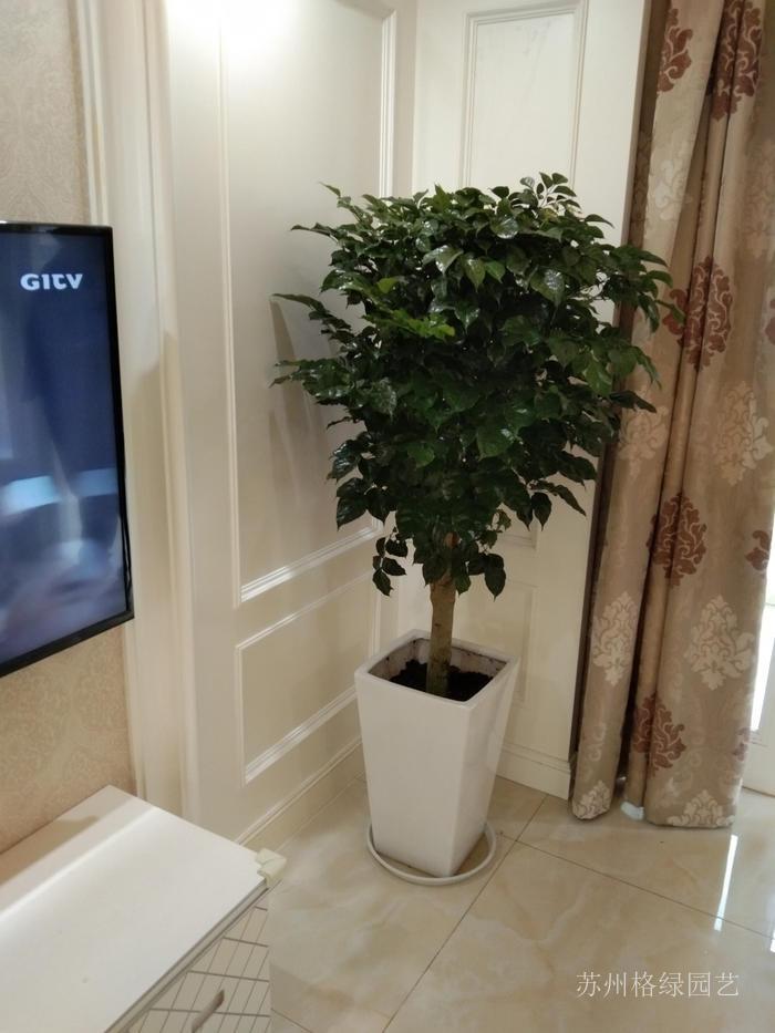 客廳電視機旁邊的打綠寶植物