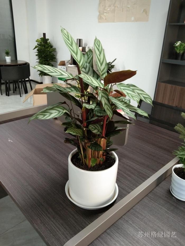 網紅植物飛羽竹芋盆景盆栽