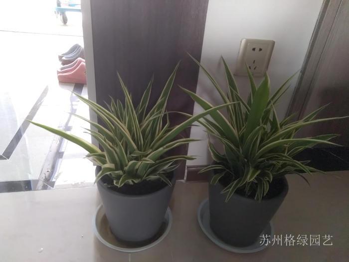 裝修好吸味道除甲醛的植物