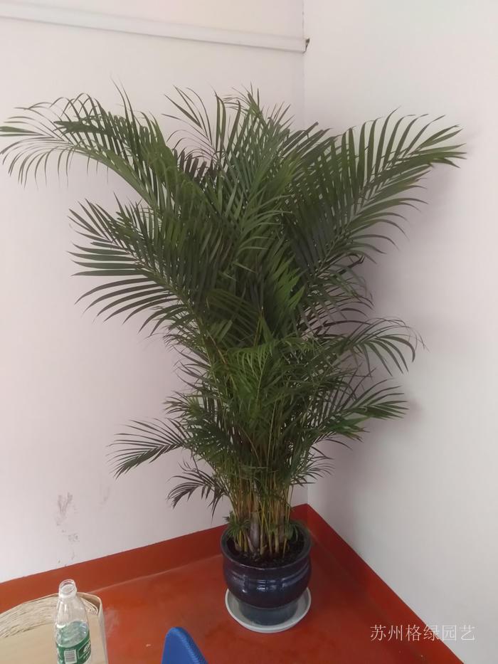 大型綠植散尾葵