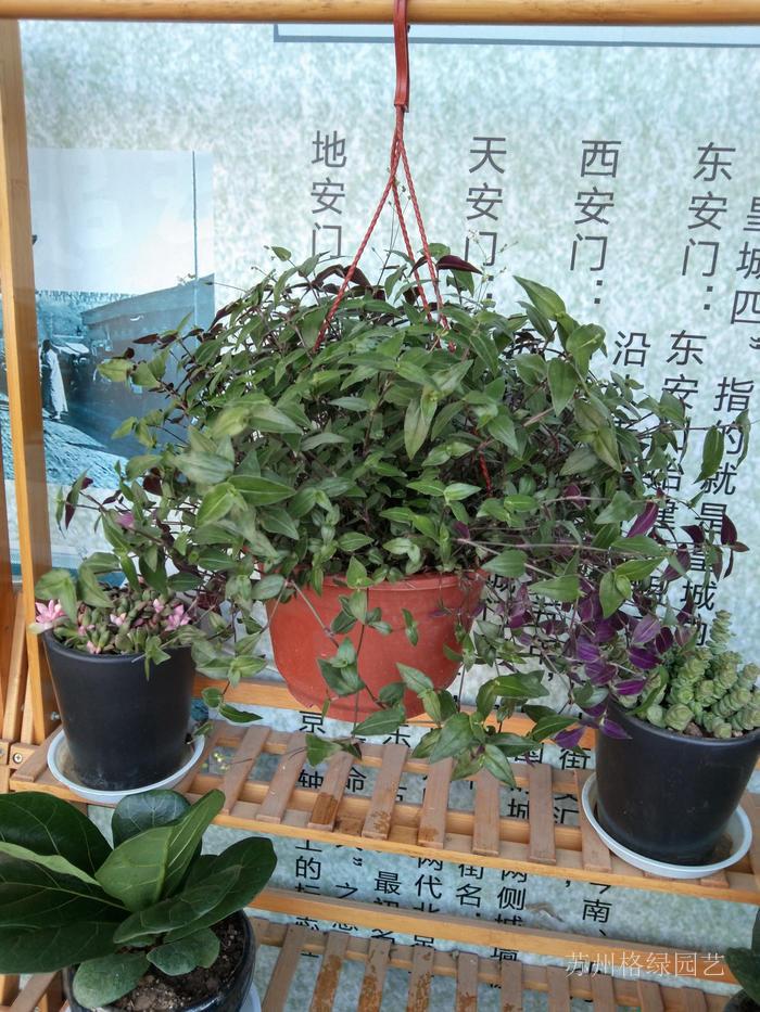 婚紗吊蘭垂吊綠植